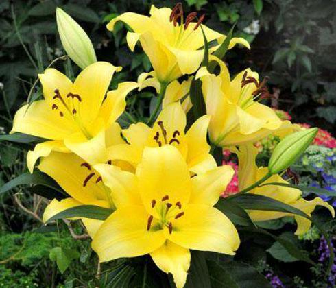 Hoa Ly Ly Đà Lạt vàng thơm Vàng ù 5 tai – Hoa tươi Đà Lạt
