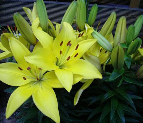 Hoa Ly Biaritz – Hoa ly Đà Lạt
