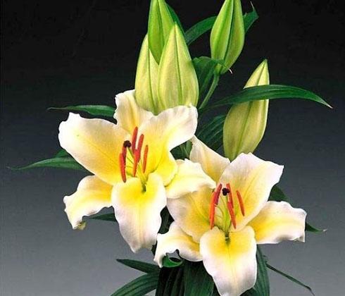 Hoa Ly vàng nhọn lùn 7 – 8 bông/cành