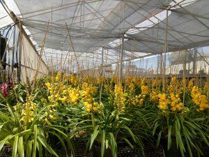 Vườn địa lan Đà Lạt - Vàng Hoàng Hậu