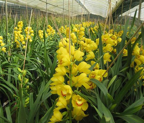 Địa Lan Vàng SJC – hoa chậu 9 cành