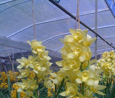 Hoa Địa Lan Đà lạt Hoa địa lan Vàng Hoàng Bào