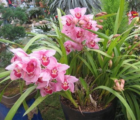 Hoa Địa Lan địa lan Hồng Đà Lạt  – Hoa tươi Đà Lạt