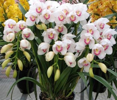 Hoa địa lan trắng Nhật – hoa tươi Đà Lạt