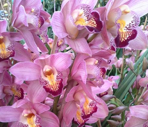 Hoa Địa lan Trắng Vầng Trăng – địa lan Đà Lạt