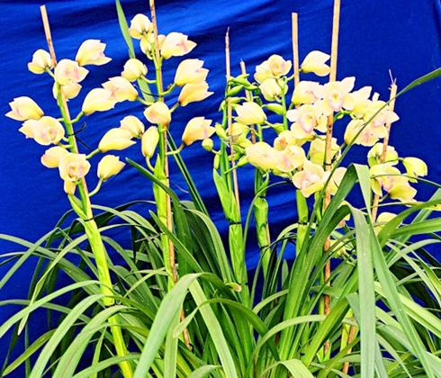 Hoa địa lan viền tím – hoa tươi Đà Lạt
