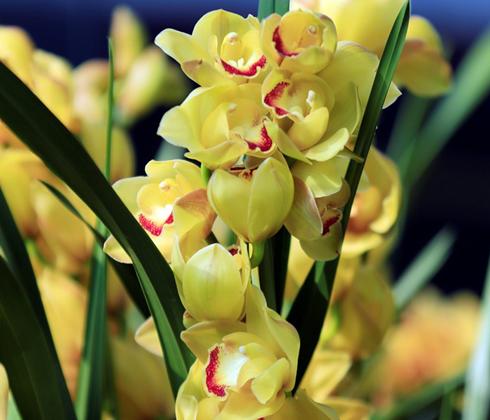 Địa Lan Vầng Trăng – hoa chậu 7 cành
