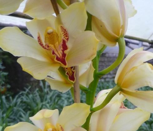Địa lan vàng lục – địa lan Đà Lạt