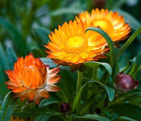 Hoa bất tử Đà Lạt – hoa tươi Đà Lạt