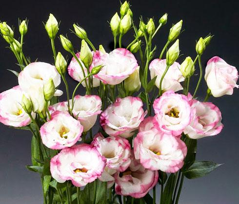 Hoa chậu cát tường Đà Lạt – hoa tươi Đà Lạt