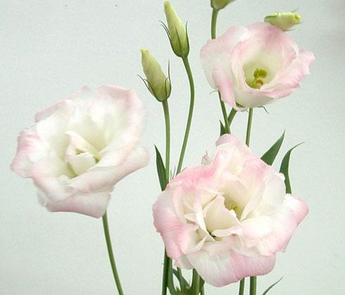 Hoa cát tường hồng phấn – hoa tươi Đà Lạt