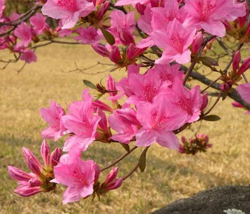 Hoa đỗ quyên vòi dài – hoa tươi Đà Lạt