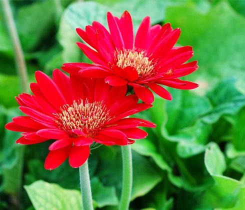 Hoa đồng tiền đỏ Đà Lạt – hoa tươi Đà Lạt
