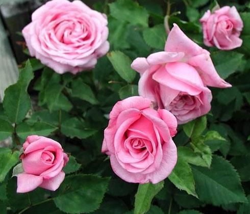 Hoa hồng hồng phấn – hoa tươi Đà Lạt
