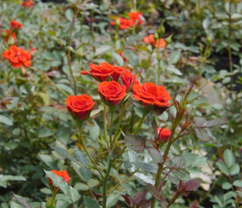 Hoa hồng (đủ màu)