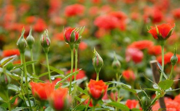 Kỹ thuật trồng hoa hồng tiểu muội