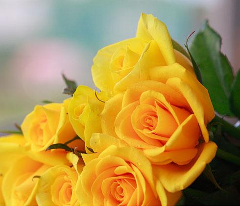 Hoa hồng vàng Đà Lạt – Hoa tươi Đà Lạt