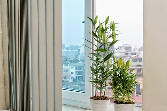 Hoa Ly chậu Đà Lạt mang đến vượng khí cho ngôi nhà bạn