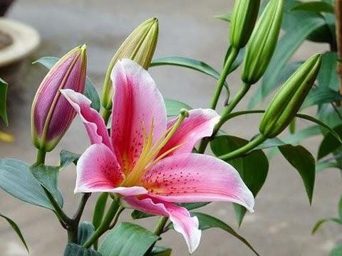 Hoa Ly Ly hồng thơm sorbon 5 tai