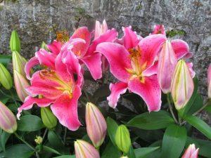 Hoa ly ly hồng thơm 4 tai