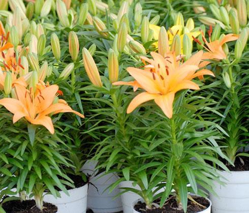Hoa ly vàng TINY BEE chậu 3 cây – hoa tươi Đà Lạt