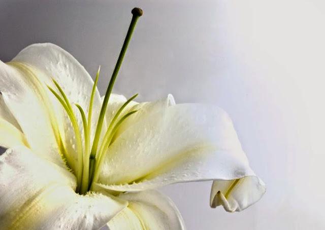 Những truyền thuyết bí ẩn về loài hoa Ly Đà Lạt