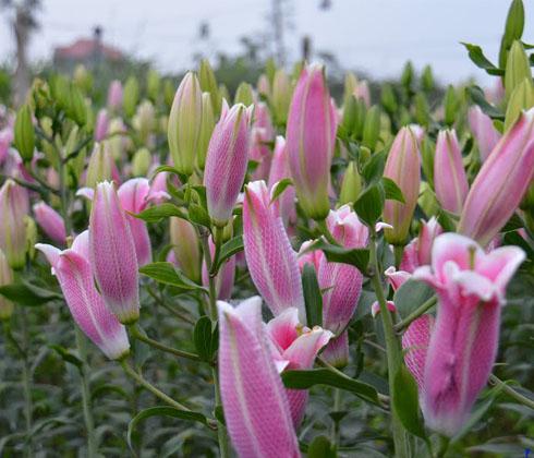 Hoa Ly Ly Hồng thơm Sorbol, Taibơ Đà Lạt 3 tai – hoa tươi Đà Lạt