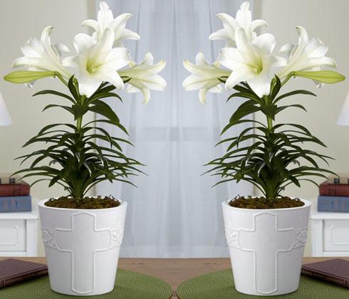 Hoa ly chậu trắng Đà Lạt – Hoa tươi Đà Lạt