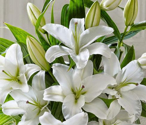 Hoa Ly Ly Đà Lạt Hoa Ly Simplon (Ly trắng)