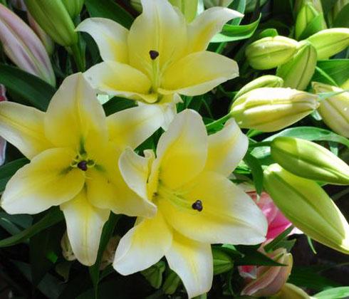 Hoa Ly Ly chậu Đà Lạt Manissa vàng ù – Hoa tươi Đà Lạt