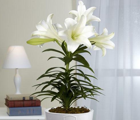 Hoa ly trắng Đà Lạt – Hoa ly Đà Lạt