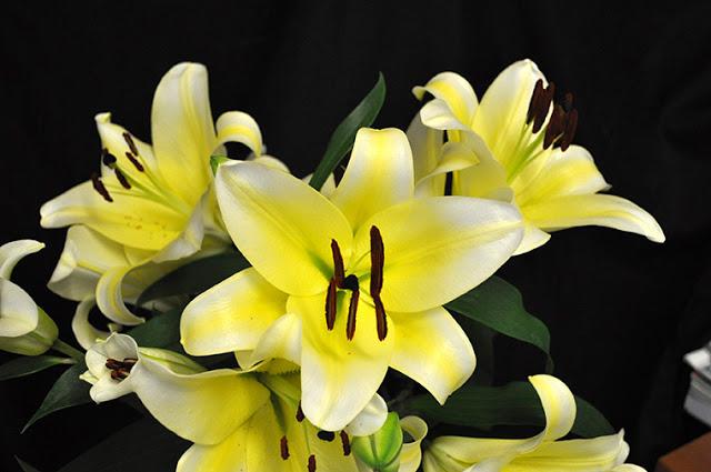 Hoa ly ù Vàng Đà Lạt - hoatuoidalat123