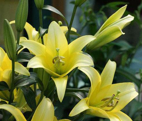 Hoa ly vàng ù (Concador)  4 tai – hoa tươi Đà Lạt