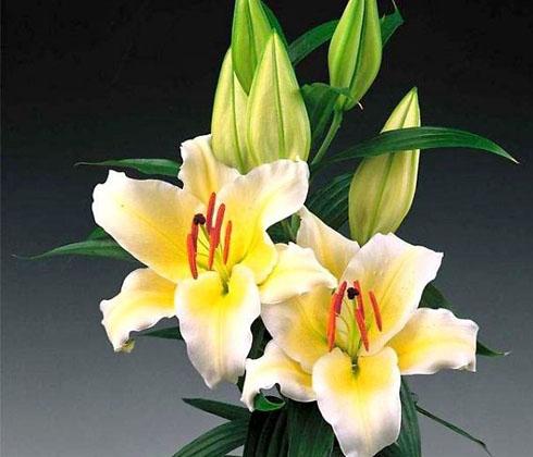 Hoa Ly Đà Lạt – Vàng ù (Concador) 5 tai – hoa tươi Đà Lạt