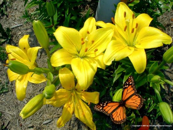 Hoa Ly Ly Vàng Ù 5 tai