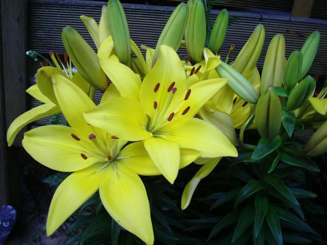 Sự tích hoa ly Đà Lạt tượng trưng cho sự trinh trắng, chung thủy