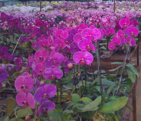 Lan hồ điệp tím Đà Lạt – hoa tươi Đà Lạt