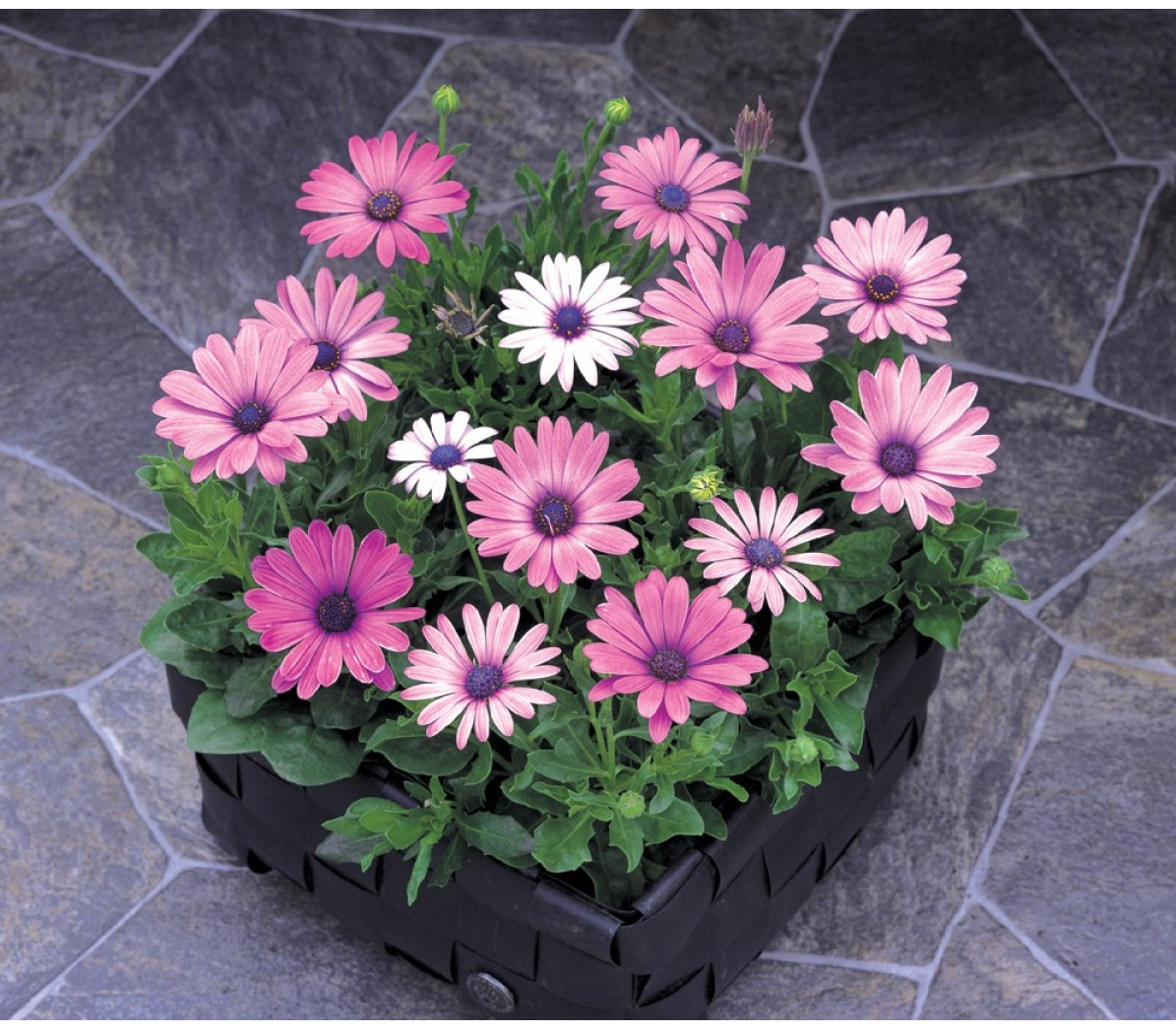 Hoa cúc cho ngày tết và cách chọn hoa
