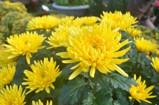 Hoa Cúc (lưới, chén, đại đóa,.. )