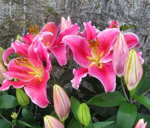 Hoa ly đỏ ù (Robina) 4 tai – hoa tươi Đà Lạt