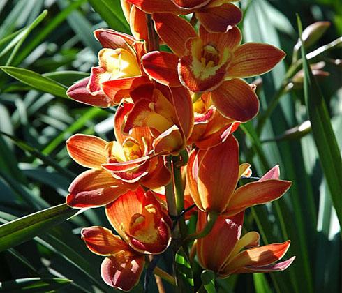 Địa Lan Cam Lửa – hoa chậu – 7 cành