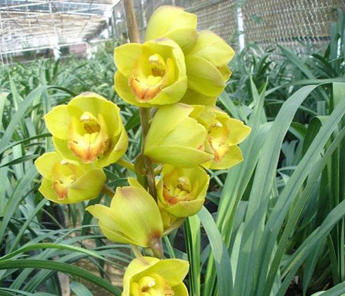 Địa Lan Xanh Bơ – hoa chậu 5 cành
