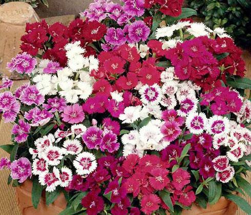 Hoa Cẩm chướng (đủ màu)