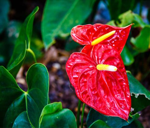 Hoa Chậu Môn ( huyết Môn, hồng Môn)