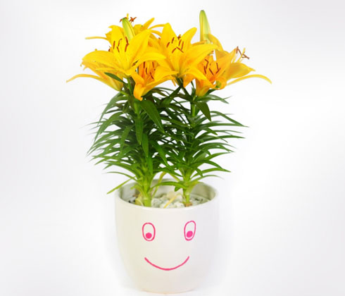 Hoa Ly Vàng Tiny Glow – chậu lùn