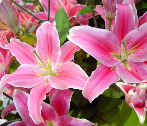 Hoa Ly Ly hồng thơm 3 tai
