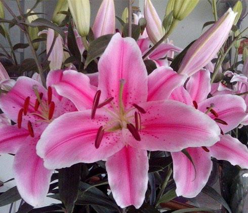 Hoa Ly Ly Hồng Tiber chậu loại cao(50-100cm)