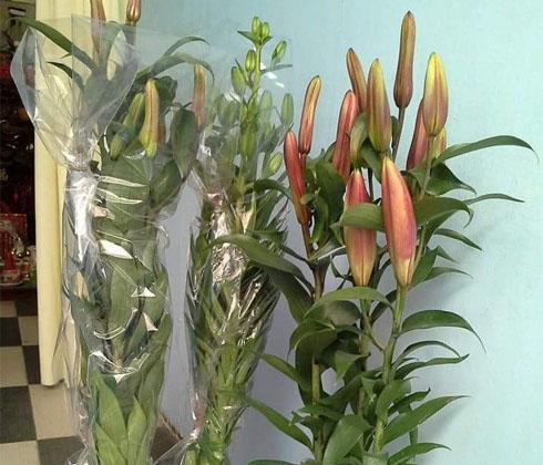 Hoa Ly Ly Hồng Marlon chậu loại cao(50-100cm)