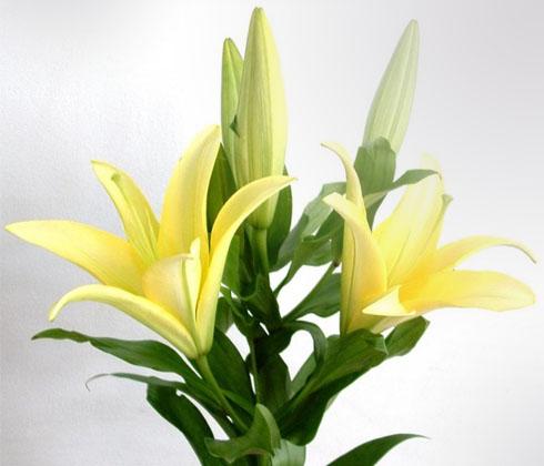 Hoa Ly vàng nhọn 4 tai