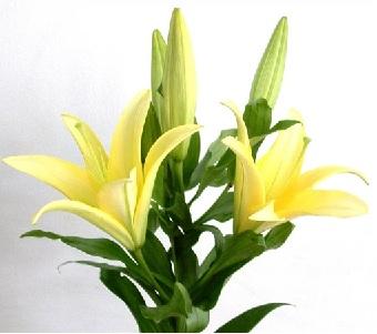 Hoa Ly Ly Vàng nhọn 3 tai